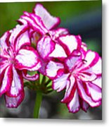 Pink And White Geraniums Metal Print