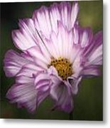 Pink And White Ruffled Cosmos Metal Print