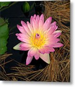 Pink And Yellow Water Lily Metal Print