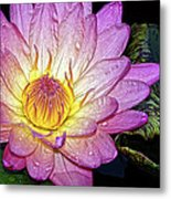 Pink And Yellow Waterlily Metal Print