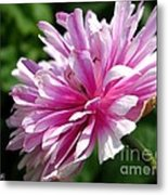 Pink Anemone From The St Brigid Mix Metal Print