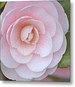 Pink Camellia Flower In Spring Metal Print