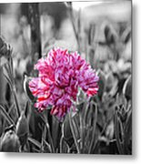 Pink Carnation Metal Print by Sumit Mehndiratta