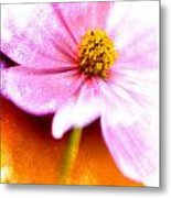 Pink Cosmos On Orange Metal Print