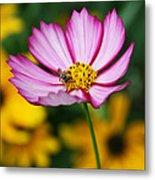 Pink Cosmos Picotee And Bee Metal Print