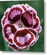 Pink (dianthus 'becky Robinson') Metal Print
