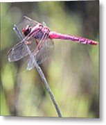 Pink Dragonfly In The Marsh Metal Print