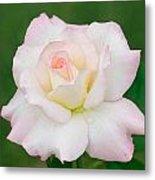 Pink Edge White Rose Metal Print