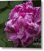 Pink English Rose Metal Print