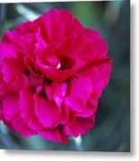Pink Flower (dianthus 'carlotta') Metal Print