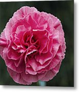 Pink Flower (dianthus 'clare') Metal Print