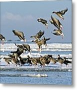 Pink-footed Geese On An Ice Floe Metal Print
