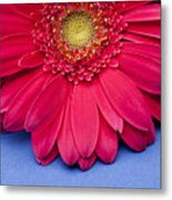 Pink Gerbera Daisy On Blue Background Metal Print