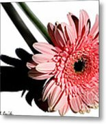 Pink Gerbera Metal Print