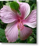 Pink Hibiscus Metal Print by Gregory Young