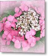 Pink Lace Cap Hydrangea Flowers Metal Print