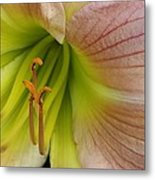 Pink Lily Up Close Metal Print