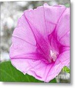 Pink Morning Glory Flower Metal Print