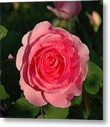 Pink Old English Rose Metal Print