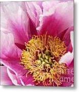 Pink Peony Flowers Series 8 Metal Print