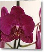 Pink Phalaenopsis Orchid  Metal Print