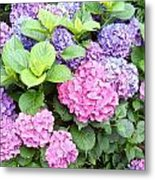 Pink Purple Hydrangeas Metal Print