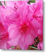 Pink Rhody Metal Print