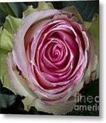 Pink Rose Spiral Metal Print