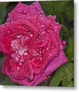Pink Rose Wendy Cussons With Raindrops Metal Print