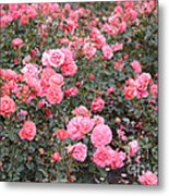 Pink Roses Canvas Metal Print