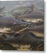 Pink Salmon Oncorhynchus Gorbuscha Metal Print