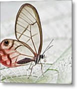 Pink-tipped Clearwing Satyr Cithaerias Metal Print