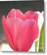 Pink Tulip Beginning Metal Print