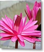 Pink Water Lily Duo Metal Print