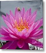 Pink Water Lily Rose Arey With Bee Metal Print