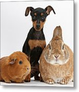 Pinscher Puppy With Rabbit And Guinea Metal Print