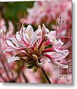 Pinxterflower Azalea Metal Print
