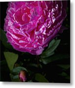 Piony Bloom Metal Print