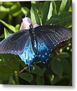 Pipevine Swallowtail Din003 Metal Print
