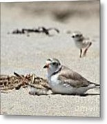 Piping Plover Mom And Two Babies Metal Print