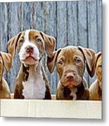Pitbull Puppies Metal Print