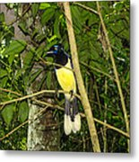 Plush-crested Jay Metal Print