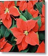 Poinsettia Varieties Metal Print