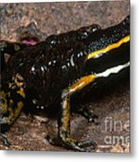 Poison Arrow Frog With Tadpoles Metal Print