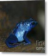 Poisonous Blue Frog 03 Metal Print
