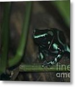 Poisonous Green Frog 04 Metal Print