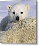 Polar Bear Cub Canada Metal Print