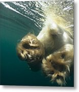 Polar Bear Swiming Away Wager Bay Canada Metal Print