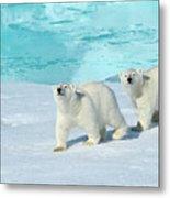 Polar Bear, Ursus Maritimus Metal Print