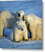 Polar Bear With Cubs Metal Print